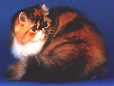 brown patched mackerel tabby & white Persian