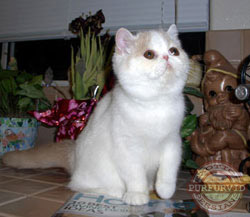 cream tabby and white Exotic