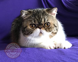 blue & white Exotic Shorthair