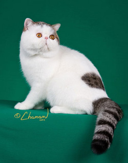 brown spotted tabby & white Exotic Shorthair