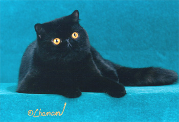 black Exotic Shorthair