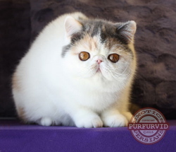 dilute calico Exotic Shorthair