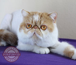 red tabby & white Exotic Shorthair