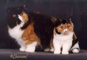 calico Persian & calico Exotic