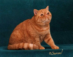 red mackerell tabby Exotic Shorthair