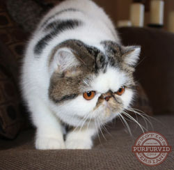 red spotted tabby and white Exotic Shorthair
