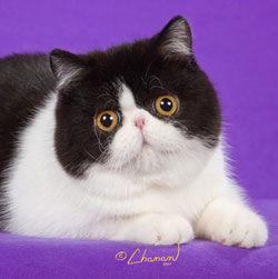 black & white Exotic Shorthair