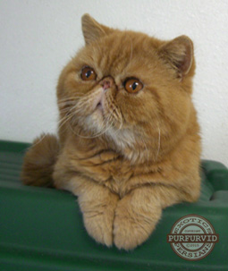 red tabby Exotic Shorthair