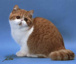 red spotted tabby & white Exotic Shorthair